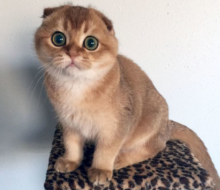 Red Scottish Fold